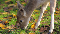 Deer grazes the grass Footage
