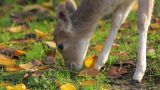 Deer Grazes The Grass  stock footage