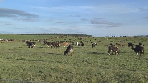 Herd of dairy cows grazing Stock Video Footage