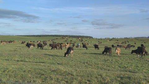 Herd of dairy cows grazing Stock Video Footage