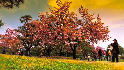 Japanese Cherry Blossom Tree ARTCOLORED 03 Stock Video Footage
