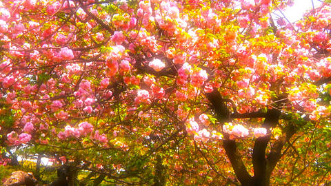 Japanese Cherry Blossom Tree ARTCOLORED 05 Stock Video Footage