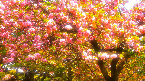 Japanese Cherry Blossom Tree ARTCOLORED 05 Footage