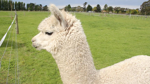 alpaca and a donkey Stock Video Footage