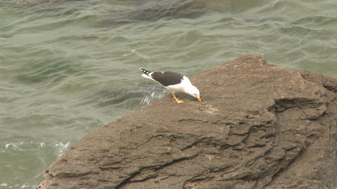 Seagull breaks shell on rocks Stock Video Footage