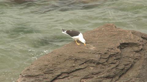 Seagull breaks shell on rocks Stock Video Footage