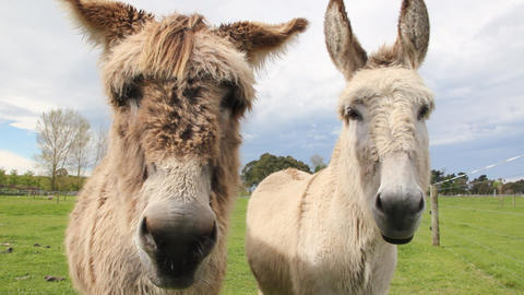 Two donkeys up close Footage