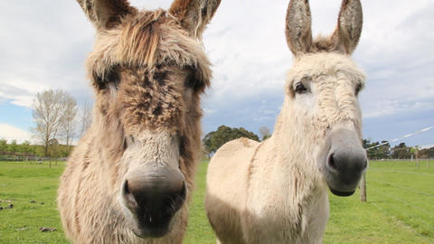 Two donkeys up close Stock Video Footage