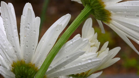 Daisy petals with raindrops Stock Video Footage