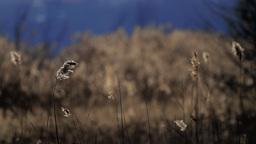 Reed Stalks Stock Video Footage
