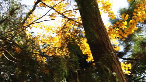 autumnal maidenhair tree Stock Video Footage