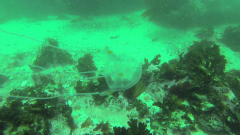 Jellyfish Swimming stock footage