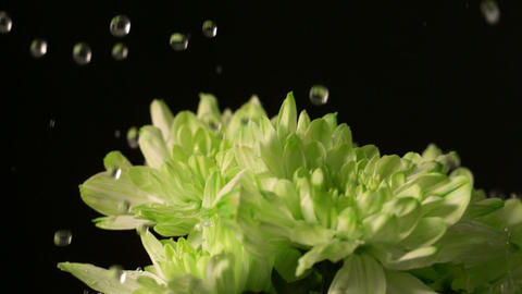Water dropping onto fresh flowers Stock Video Footage
