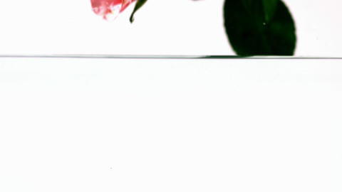 Pink rose falling into water Stock Video Footage