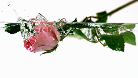 Pink rose falling into water Footage