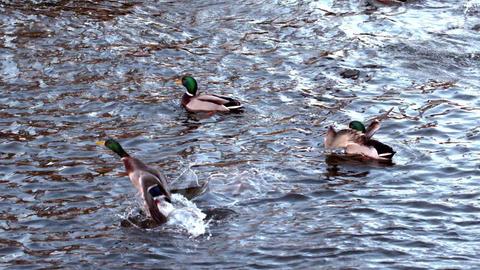 Ducks swimming on the lake Footage