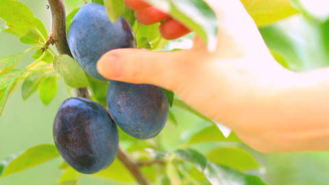 Hand picked ripe plums from plum tree Footage