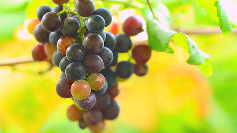A bunch of grapes on the blurred background Footage