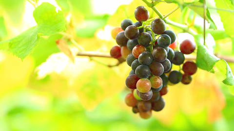 Hanging A Bunch Of Wine Grapes stock footage