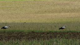 4 K European Storks on Harvested Grain Field 1 Footage