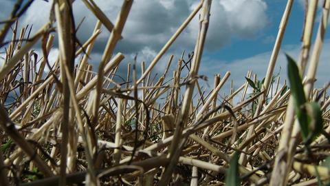 4 K Harvested Grain Stems in Summer lowangle Footage