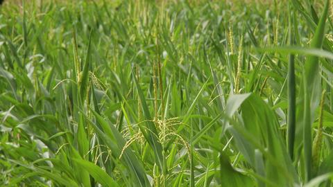 4 K Summer Corn Field 2 Footage