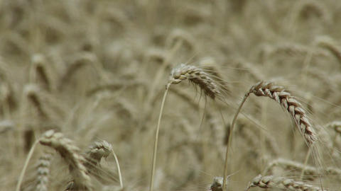 4 K Summer Lush Wheat Field 9 crops rackfocus clos Footage
