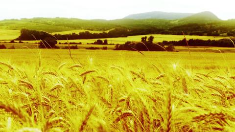4 K Summer Lush Wheat Field 20 stylized Footage