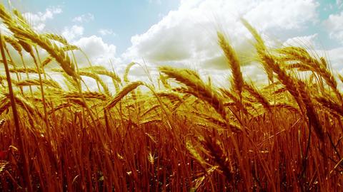 4 K Summer Lush Wheat Field 43 wide tilt stylized Footage
