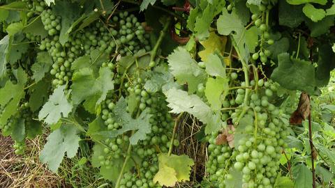 4 K Wine Grapes 2 mid summer Footage