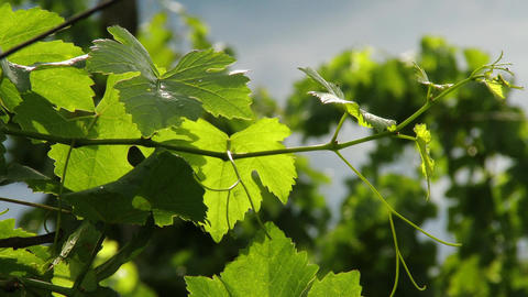 4 K Wine Grapes 5 mid summer leaves Footage