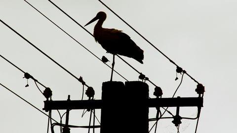European Stork on Electric Pole 15 stylized Footage