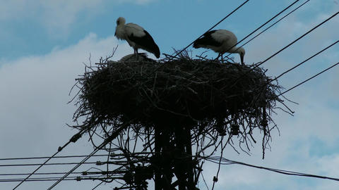 European Storks Nest on Electric Pole 1 Footage