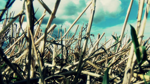 Harvested Grain Stems In Summer 3 Lowangle stock footage