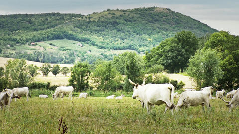 Hungarian Grey Cattles in Kali Basin Hungary 6 sty Footage