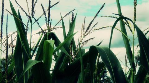 Summer Corn Field 2 closeup stylized Footage