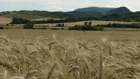 Summer Lush Wheat Field 2 Live Action