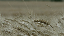 Summer Lush Wheat Field 6 crops rack focus closeup Footage