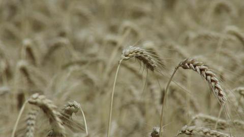 Summer Lush Wheat Field 9 crops rackfocus closeup Footage