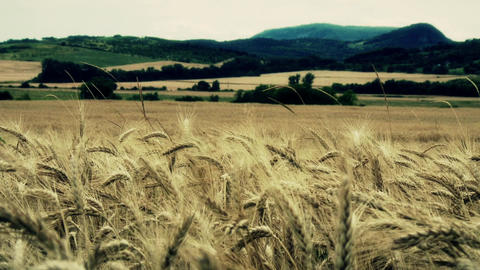 Summer Lush Wheat Field 22 stylized Live Action