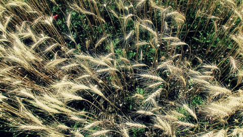 Summer Lush Wheat Field 48 wide high stylized Footage