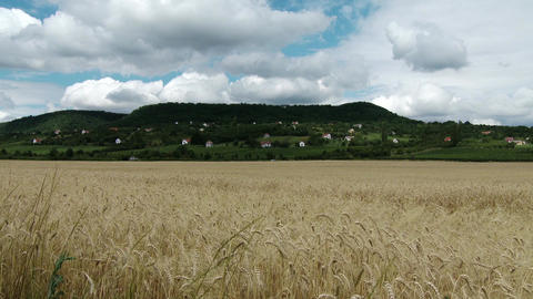 Summer Lush Wheat Field and Hill in Kali Basin Hun Footage
