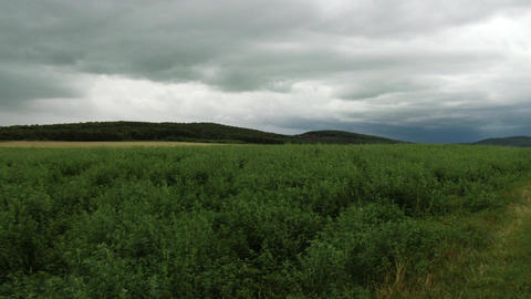 Summer Meadow and Pine Forest under Dull Sky 2 Footage