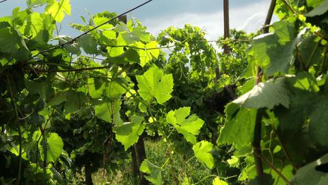 Wine Grapes 4 mid summer leaves Footage