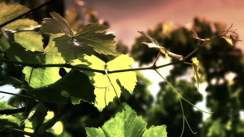 Wine Grapes 8 Mid Summer Leaves Stylized stock footage