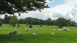 Field Of Sheep stock footage
