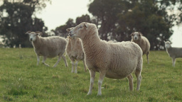 Sheep in a Field Staring at the Camera Footage