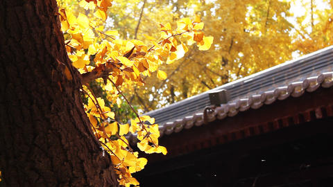 autumn tree and chinese building Stock Video Footage