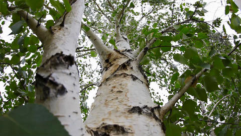 Birch Stock Video Footage