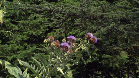 Purple Thistle In A Botanical Garden, Beautiful, S stock footage